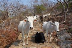 母牛牧群在石台阶的 免版税图库摄影