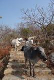 母牛牧群在石台阶3的 图库摄影