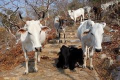 母牛牧群在石台阶2的 库存照片