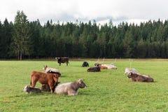 母牛牧群在草原的 库存图片