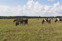 母牛牧群在草甸吃草 免版税库存图片