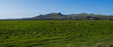 母牛牧群在草甸的 库存图片