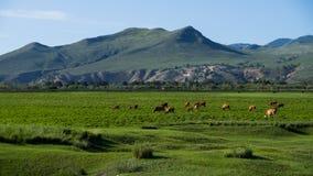 母牛牧群在草甸的 图库摄影