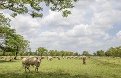 母牛牧群在草甸 免版税库存图片