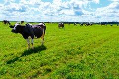 母牛牧群在领域走 免版税库存图片