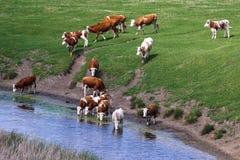 母牛牧群在饮水池的 免版税图库摄影
