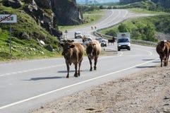 母牛牧群在高加索山脉的Baksan峡谷在俄罗斯 免版税库存图片