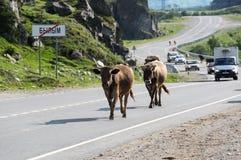 母牛牧群在高加索山脉的Baksan峡谷在俄罗斯 图库摄影