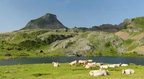 母牛牧群在高山牧场地 图库摄影
