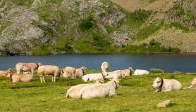 母牛牧群在高山牧场地 免版税图库摄影