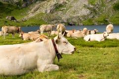 母牛牧群在高山牧场地 免版税库存照片
