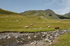 母牛牧群在高山牧场地 库存图片