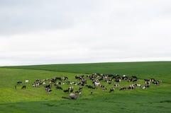 母牛牧群在绿色牧场地的 库存图片