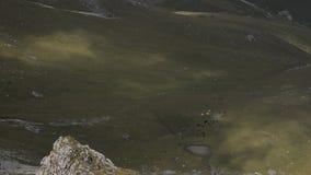 母牛牧群时间间隔吃草在山牧场地的  股票视频