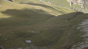 母牛牧群时间间隔吃草在山牧场地的  股票录像