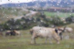 母牛牧群的抽象图片在保加利亚Rhodopes小山的脚的一个牧场地如进行下去一个湿车窗 免版税库存照片