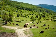 母牛牧群 在域的母牛 吃草在绿色草甸的母牛 免版税库存照片