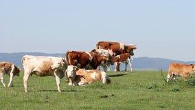 母牛牧群 股票视频