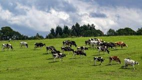 母牛牧群  免版税图库摄影