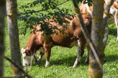 母牛牧群 库存图片