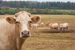 母牛牧群 免版税库存图片