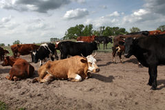 母牛牧群 库存照片