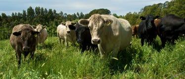 母牛牧群  免版税库存照片
