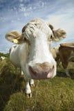 母牛特写镜头在反对蓝天的牧场地 免版税图库摄影