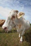 母牛特写镜头在反对蓝天的牧场地 免版税库存图片