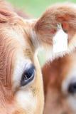 母牛特写镜头在草甸在Alpes,德国的 免版税图库摄影