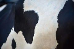母牛独特的背景的身体局部拍摄 免版税图库摄影