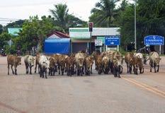 母牛男孩在泰国 库存照片
