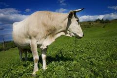 母牛白色 免版税库存照片