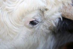 母牛的一只眼睛 免版税库存照片