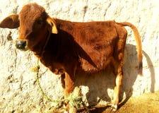 母牛的儿子 免版税库存照片