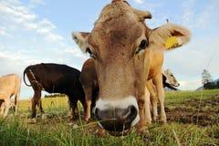 母牛的好奇,滑稽的神色 免版税库存照片