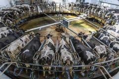 母牛的挤奶厅 免版税图库摄影