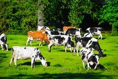 从母牛的照片在看起来绘画的领域 库存图片