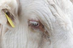 母牛的眼睛的特写镜头视图在艾塞克斯,英国 免版税库存图片