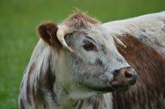 母牛的纵向 库存图片