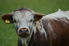 母牛的纵向 免版税库存照片