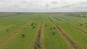 母牛的领域 影视素材