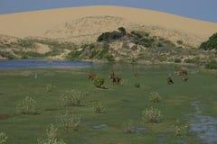 母牛的领域 免版税库存图片