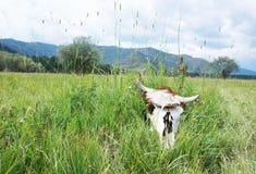 母牛的头骨在绿草在草甸 库存照片