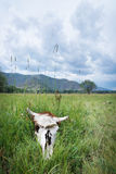 母牛的头骨在绿草说谎在草甸 免版税库存照片