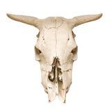 母牛的头骨 免版税库存照片