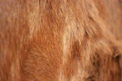 母牛皮肤的背景 免版税库存图片