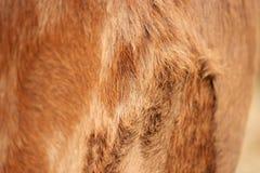 母牛皮肤的背景 库存图片