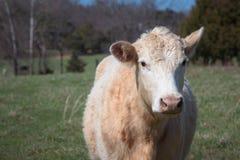 母牛看与被转动的一个耳朵的照相机  库存照片