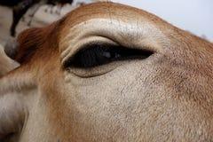 母牛眼睛的一个超级特写镜头 免版税库存照片